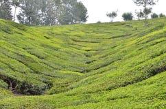 Schönheit des Tee-Gartens - Natur Stockfoto