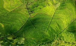 Schönheit des Teeplantagenlandes Stockbild