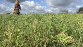 Schönheit, die Erbsenhülsen im Gemüsegarten erntet 4K stock video footage