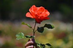 Schönheit einer Rose Stockbild