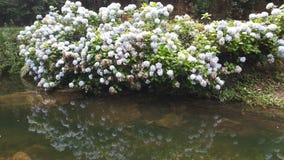 Schönheit hortencia Blumen Stockfoto