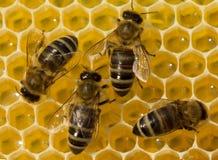Schönheit innerhalb des Bienenstocks Bienen wandeln Nektar in Honig um Stockbild