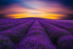 Schönheit von Lavendel 2 lizenzfreies stockfoto