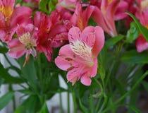 Schönheit von Lilium ` Stern-Gaffer ` stockbild