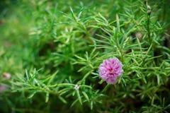 Schönheit von pussley Blume oder Moss Rose unter natürlichem Licht morgens Lizenzfreies Stockfoto