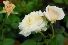 Schönheit von Rosen stockbild