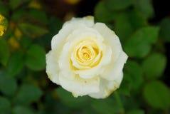 Schönheit von Rosen stockbilder