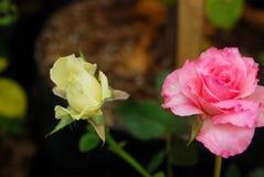 Schönheit von Rosen stockfotografie