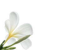 Schönheit von weißen Frangipani- oder Plumeriablumen Lizenzfreie Stockfotografie