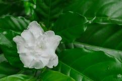 Schönheit weiße Blume des ostindischen Oleander-Krepp-Jasmins stockbilder
