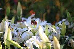 Schönheits-Blume in ChiangRai-Blumen-Garten 2014 Stockfotografie