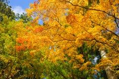 Schönheitsahornbaum im Herbst saisonal mit blauem Himmel Stockbild