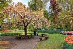 Schönheitsbaum in der Blüte mit Bank Lizenzfreie Stockbilder