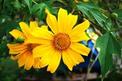 Schönheitsblüte der Naturblume mit Blatt im Garten Lizenzfreies Stockfoto