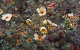 Schönheitsefeu-Farbzusammenfassung der natürlichen Buntlippe der Herbst Briarrosen blüht helle gelbe bunten Blumenherbst des Jahr Stockfoto