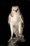 Schönheitsfalke auf der Hand des Falkners Lizenzfreie Stockbilder