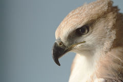 Schönheitsfalke auf der Hand des Falkners Stockfoto