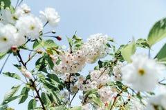 Schönheitsfrischefrühlingskirschblüte-Kirschbaumanlage Stockfotografie
