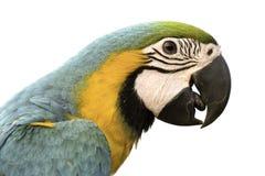 Schönheitspapagei Headshot auf weißem Hintergrund, Beschneidungspfad Lizenzfreies Stockbild