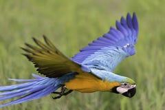 Schönheitspapageienfliegen auf dem Reisgebiet, Aktion Stockbild