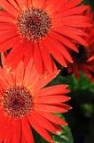 Schönheitsrotblumen Lizenzfreie Stockfotografie