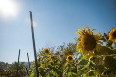 Schönheitssonnenblume im Garten Stockfotos