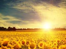 Schönheitssonnenblumen Stockfotografie