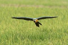 Schönheitsvogelfliegen auf dem Reisgebiet, Aktion Stockfoto
