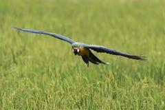 Schönheitsvogelfliegen im Reisbauernhof, Aktion, Aktion Lizenzfreie Stockfotos