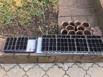 Schösslinge im Gewächshaus Pfeffersämlinge, Tomatensämlinge, Nahaufnahme von jungen Blättern des Pfeffers, neuer Frühling stockfoto