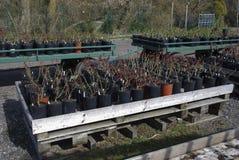 Schösslinge von Rosen in den schwarzen Töpfen sind auf hölzernen Paletten Stockbilder
