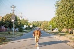 Schüchtern Sie auf die Mitte einer gepflasterten Straße in der Hauptstraße von Dubovac, Serbien allein gehen ein Lizenzfreie Stockfotografie
