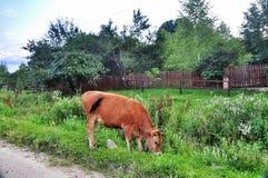 Schüchtern Sie das Weiden lassen auf einer grünen Wiese im Bergdorf ein Stockfotos