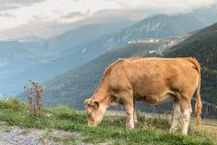 Schüchtern Sie das Weiden lassen in der Weide nahe dem Skiort Winkels des Leistungshebels D Adet ein stockfoto