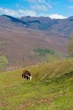Schüchtern Sie den Bauernhof ein, der grünes Gras auf dem Hügel weiden lässt Stockfotografie