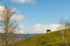 Schüchtern Sie den Bauernhof ein, der grünes Gras auf dem Hügel weiden lässt Stockbilder