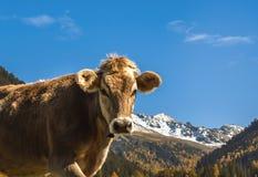 Schüchtern Sie Mündung auf einer Wiese auf dem Feld in der Schweiz auf dem Hintergrund der Schweizer Alpen ein Stockfotografie