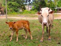 Schüchtern Sie Mutter- und Kalbsohnabschluß herauf Foto ein Lizenzfreie Stockfotografie