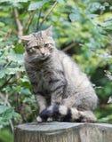 Schüchterne europäische Wildkatze (Felis silvestris silvestris) Stockfotografie