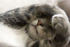 Schüchterne Katze mit den Tatzen über Gesicht Lizenzfreie Stockbilder