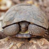 Schüchterne Landschildkröte Stockbilder