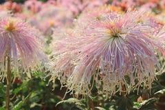 Schüchterne Mädchen Chrysantheme Stockbilder