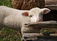 Schüchterne Schafe Stockfotografie