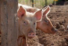 Schüchterne Schweine Stockfotografie