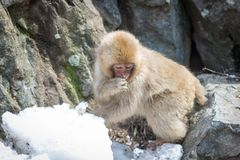 Schüchterner Affe im Schnee Stockfoto