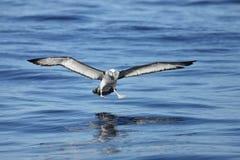 Schüchterner Albatros, der unten kommt zu landen Stockfotografie