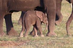 Schüchterner Elefant CUB stockbilder