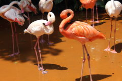 Schüchterner Flamingo zwei Lizenzfreies Stockbild