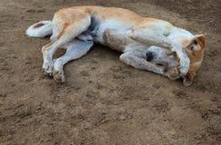 Schüchterner Hund, der auf dem Boden schläft stockbild