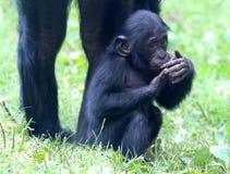 Schüchterner kleiner Affe Stockbilder